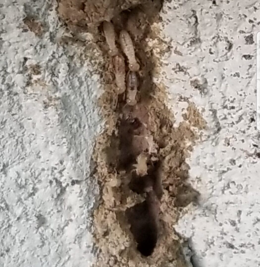 termite pic